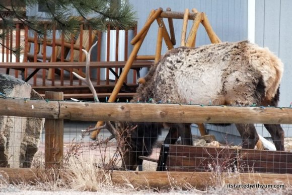 Oh, you know, just an elk hanging out with his friends in someone's front yard. No big deal.